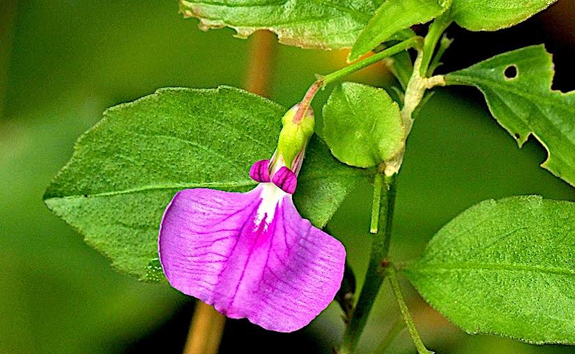 Stomata of Hybanthus(Violaceae)