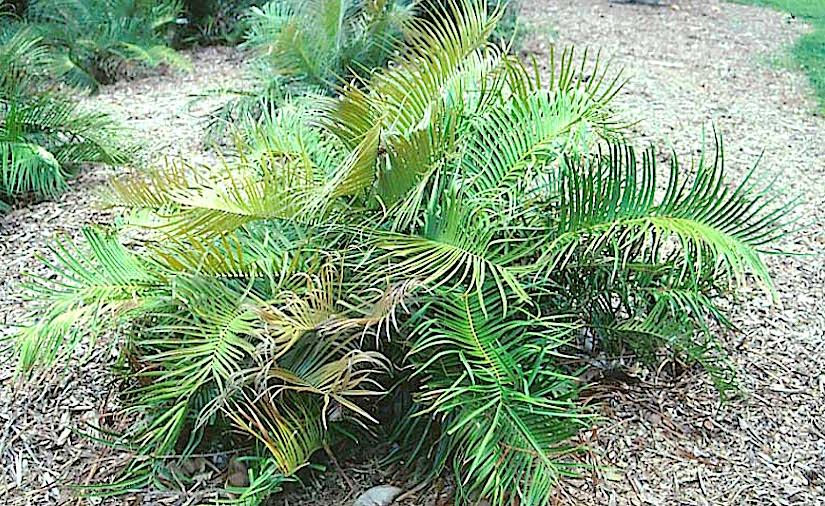 Stomata in Ceratozamia(Gymnosperms)