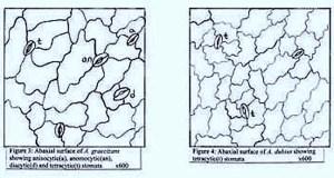 Stomata of Amaranthus - http://www.ethnoleaflets.com/leaflets/global_files/image002.jpg