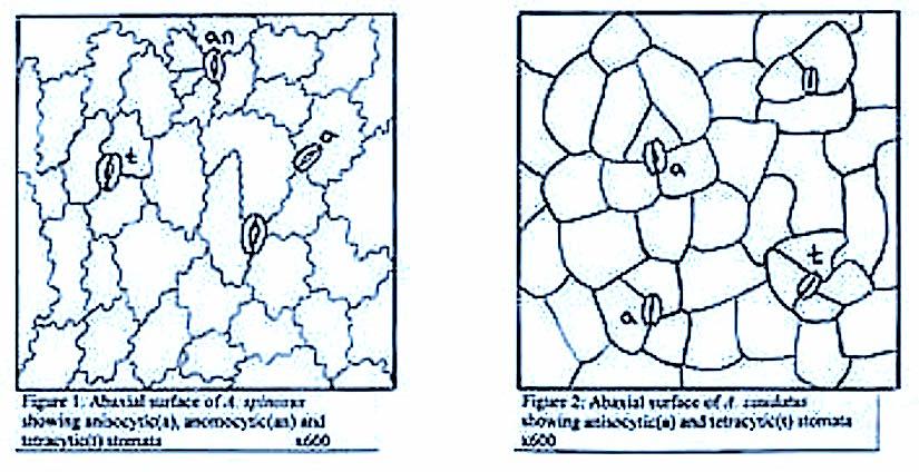 Stomata and climatechange
