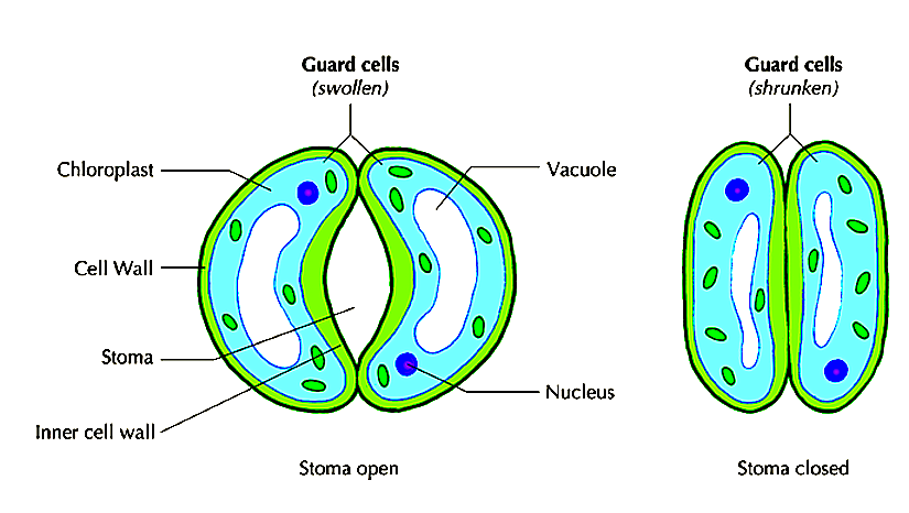 Understanding of guard cell signaling - PLANT STOMATA ...
