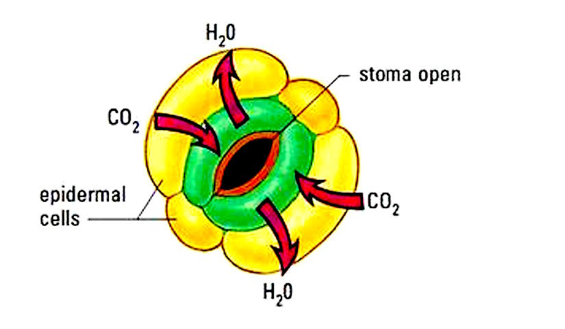 Sulfur Dioxide Treatment And Stomata Plant Stomata Encyclopedia