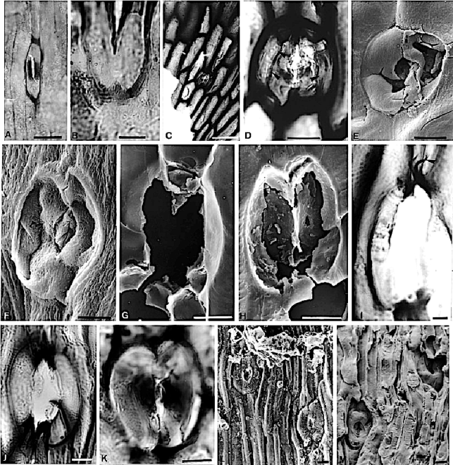 fig-3-lochkovian-stomata-all-sems-except-a-d-i-k-cuticles-a-b-dundee-formation