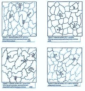 Amaranthus stomata - http://www.ethnoleaflets.com/leaflets/global_files/image002.jpg