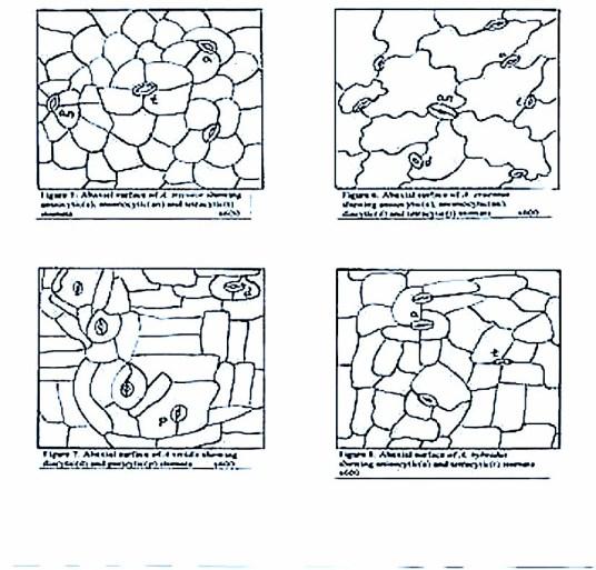 Amaranthus stomata - http://www.ethnoleaflets.com/leaflets/global_files/image004.jpg
