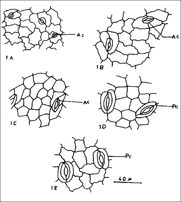 stomata in phyllanthus phyllanthaceae plant stomata encyclopedia  a e lower epidermis of the lamina in surface view 583 x p