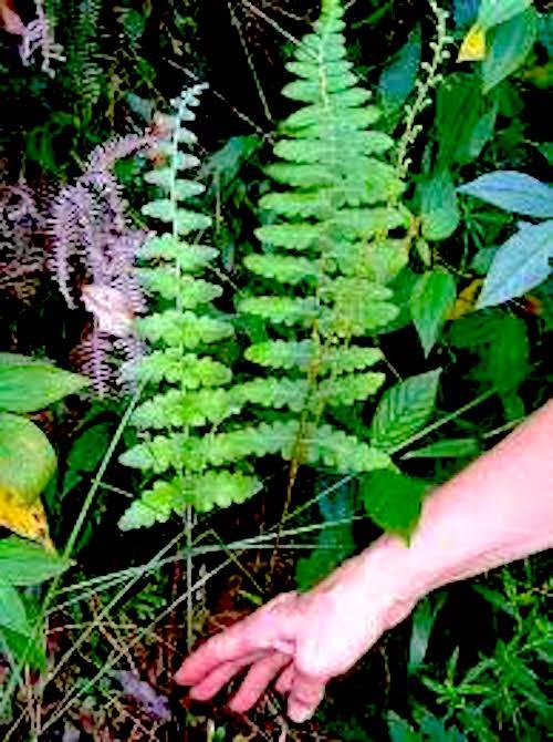 Stomata In Anemia Ferns Plant Stomata Encyclopedia