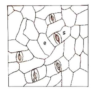 Figure 1. Leaf surface view of M. esculenta. Showing paracytic stomata (g = Guard cell, s = Subsidiary cell) and epidermal cell (e) x600. - https://encrypted-tbn0.gstatic.com/images?q=tbn:ANd9GcRerC-_qV2dkFbmHltALA_vGRJiu5zUR3XnplztEwomTD0SKlxq
