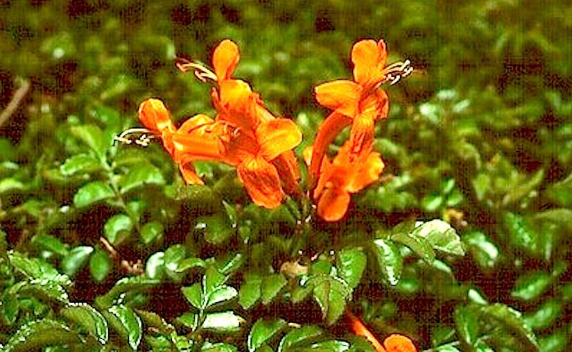 Stomata in Bignoniaceae