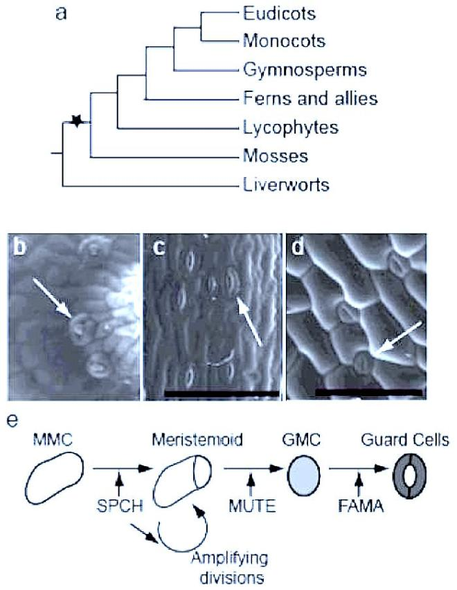 ecology stomata We analyzed stomatal, hydraulic, and mesophyll drought tolerance traits for   traits in models of plant and ecosystem responses to drought.