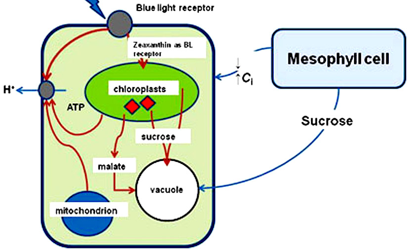 Characteristics of guard cell chloroplasts and their