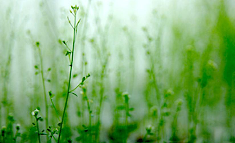 The main plant hormone that regulates the development ofstomata