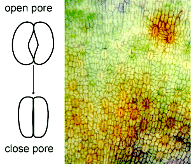 fig-1-diagram-of-a-stoma-with-an-open-and-close-pore-stomata-distribution-at-the-base