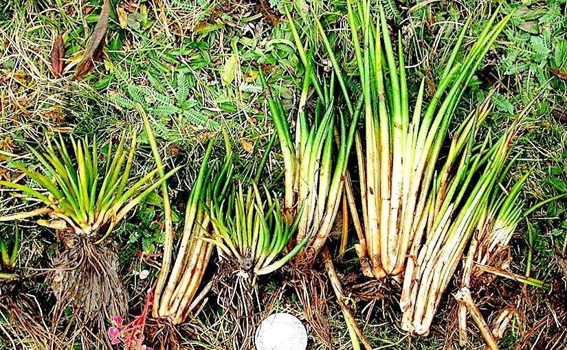 Stomata in Isoetes hyemalis(Isoetopsida)