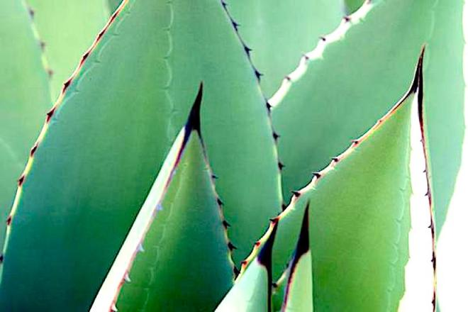 agave-genes-could-inspire-new-drought-resistant-plants