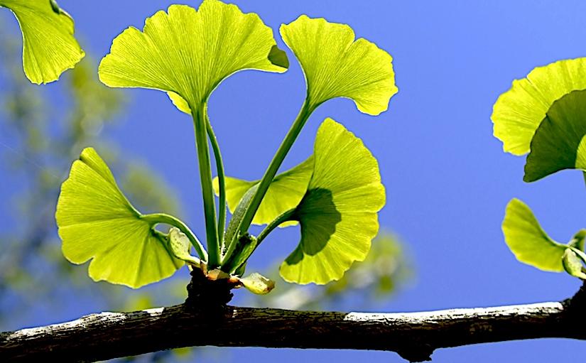 Amphistomatic leaves in Ginkgobiloba