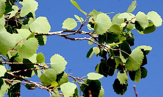 populus-euphratica-photo2
