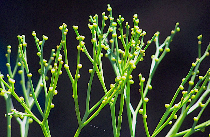 Stomatal development in Psilotum nudum