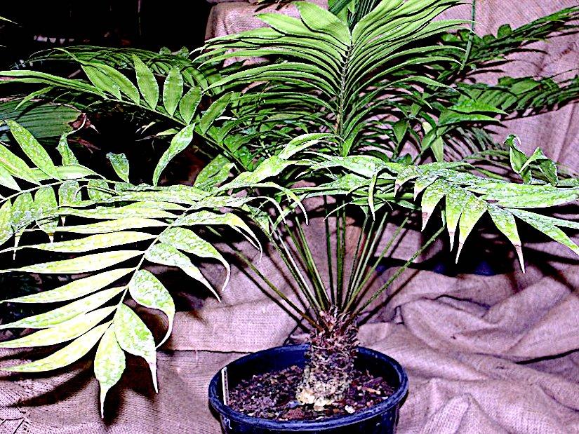 Stomata in Zamia (Zamiaceae –Cycadales)