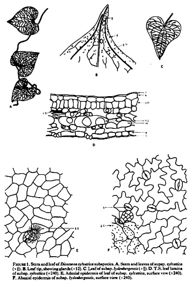 Stomata in Dioscorea – PLANT STOMATA ENCYCLOPEDIA