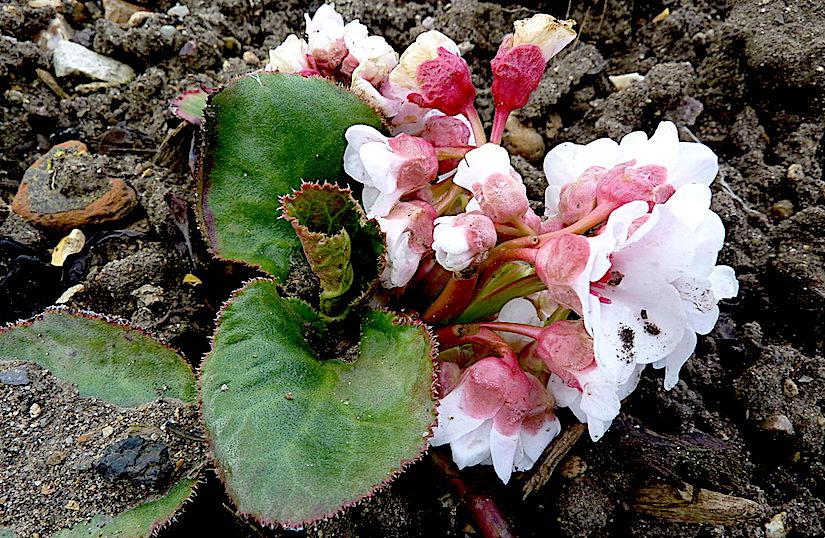 Stomata in Bergenia ciliata(Saxifragaceae)