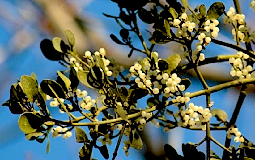 Stomata in the mistletoe Phoradendronflavescens