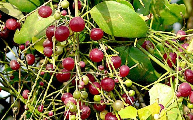 saltbush_fruits