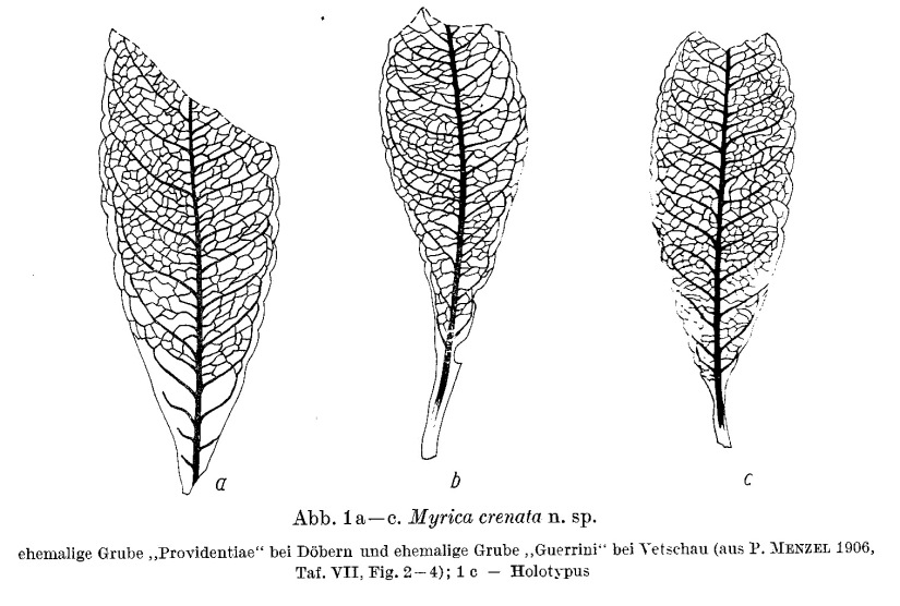 Stomata in originals of structure-showing leaves in brown-coal deposits (in German)