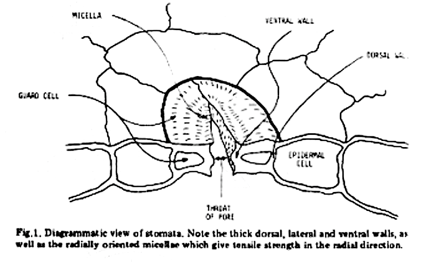 Anatomy And Physiology Of The Stomata