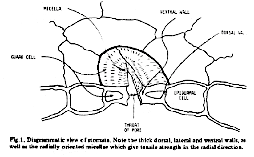 Plant Stomata Encyclopedia Page 522 The Science Of The Stomata