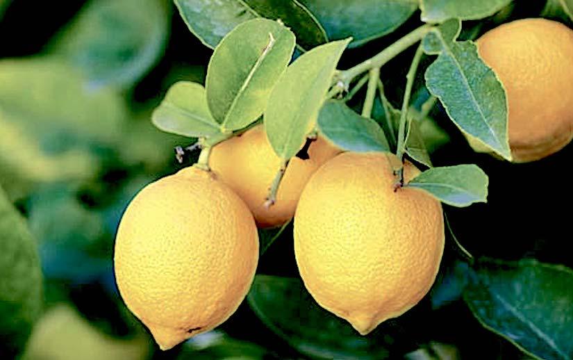 Stomata in Citrus(Rutaceae)