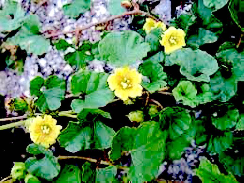 Stomata in someConvolvulaceae