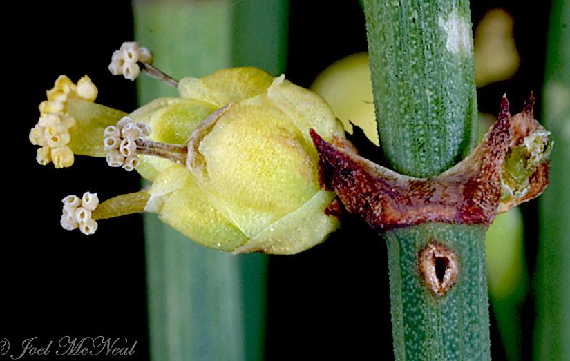 Stomata in Gnetum and Ephedra(Gymnospermae)