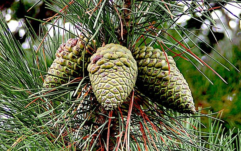 Stomata in Pinus radiata(Gymnosperms)
