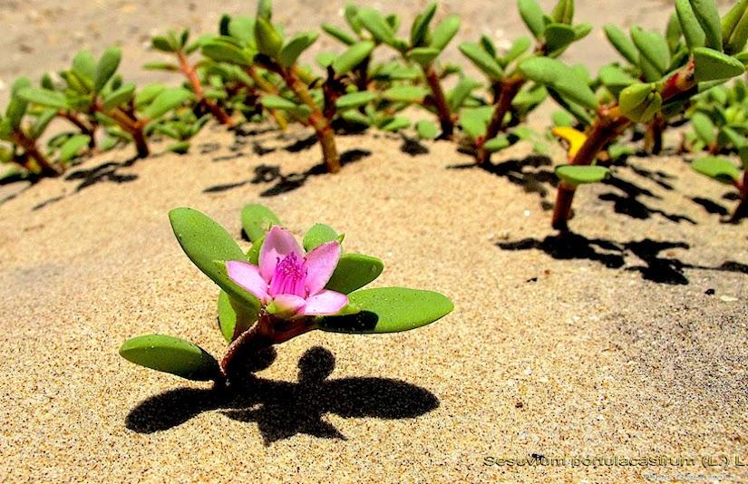 Stomata in Aizoaceae