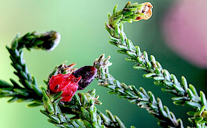 Stomata in Dacrydium(Podocarpaceae)