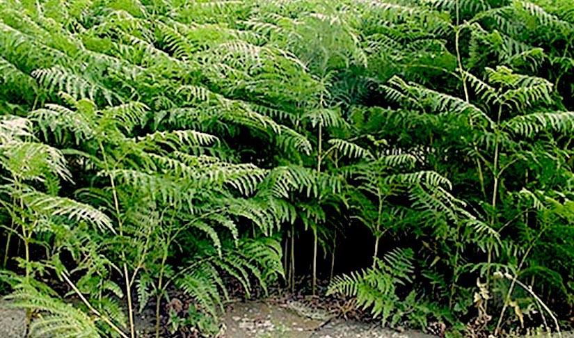 Stomata in Pteridium aquilinum(ferns)