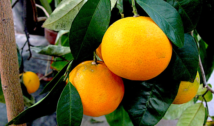 Citrus species have a water-conserving stomatal system (Rutaceae)