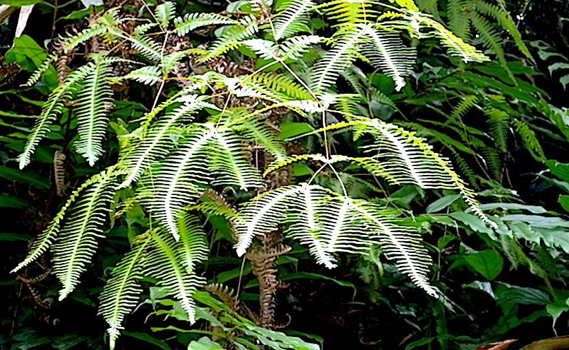 Stomata in Gleichenia and Dicranopteris(ferns)