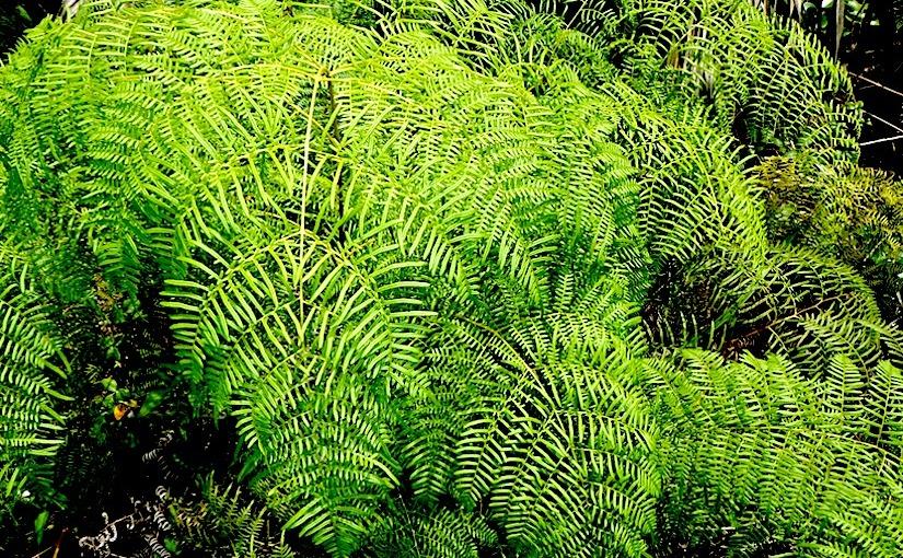 Stomata in Pteridium caudatum (Dennstaedtiaceae) –(ferns)