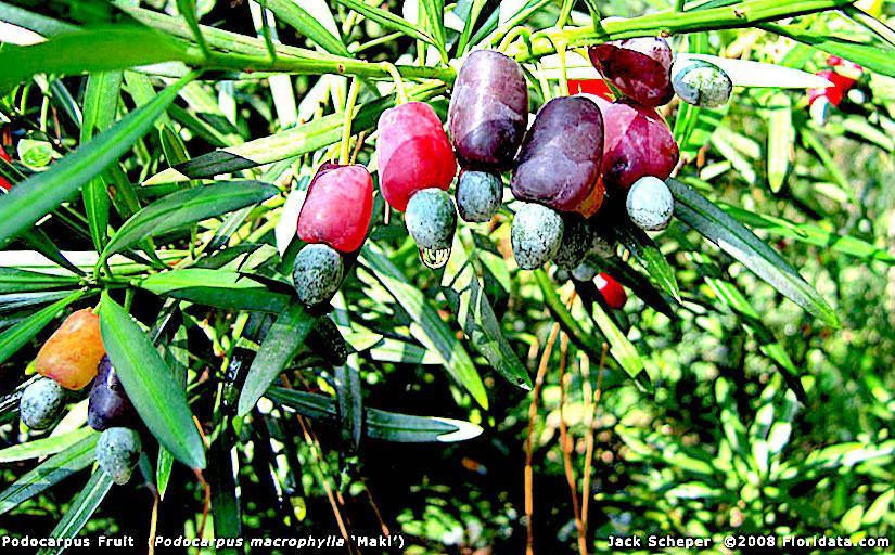 Stomata in Podocarpus(Gymnospermae)