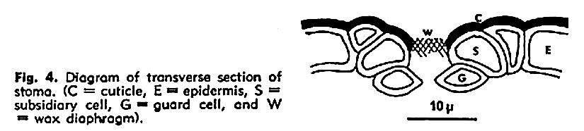 The stomatal regions of Picea glauca and Pinusdivaricata