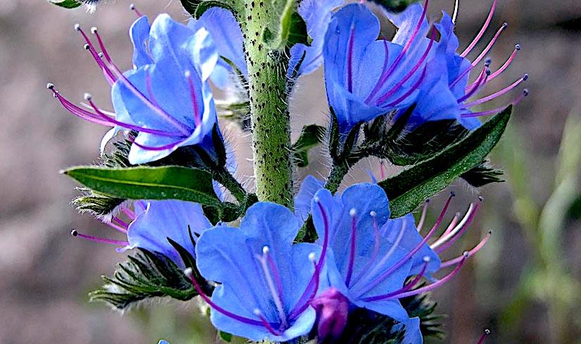 Stomata in Echium vulgare L. flowers(Boraginaceae)