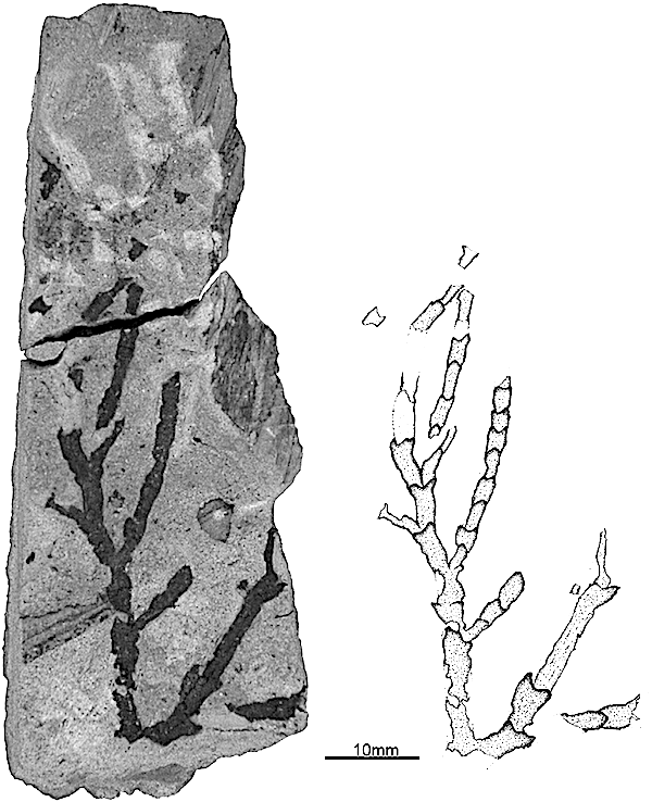 Fig-4-Holotype-23088-Geological-Museum-of-Lisbon-of-Frenelopsis-teixeirae-from-the