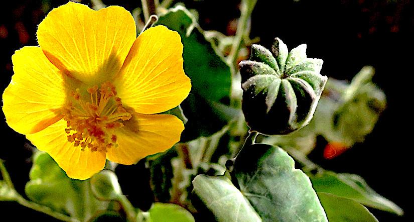 Stomata in Abutilon Mill.(Malvaceae)