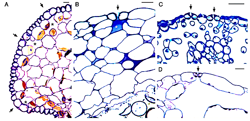 New data on bryophyte stomata