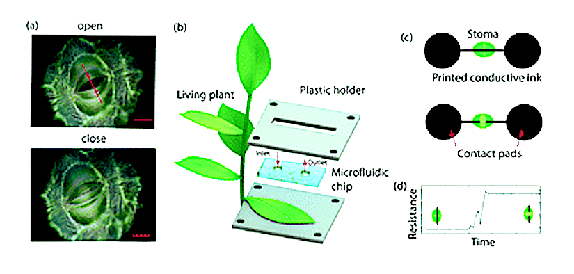 Monitoring of stomatal function over long term timescales at single stoma level