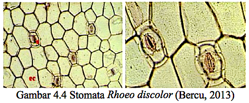 Stomatal structure and physiology