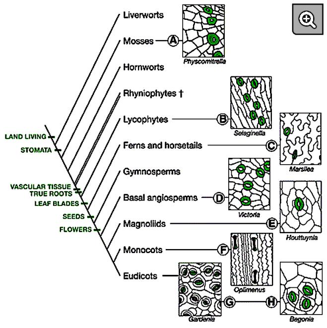 Evolution and Diversity of Stomatal Development – PLANT