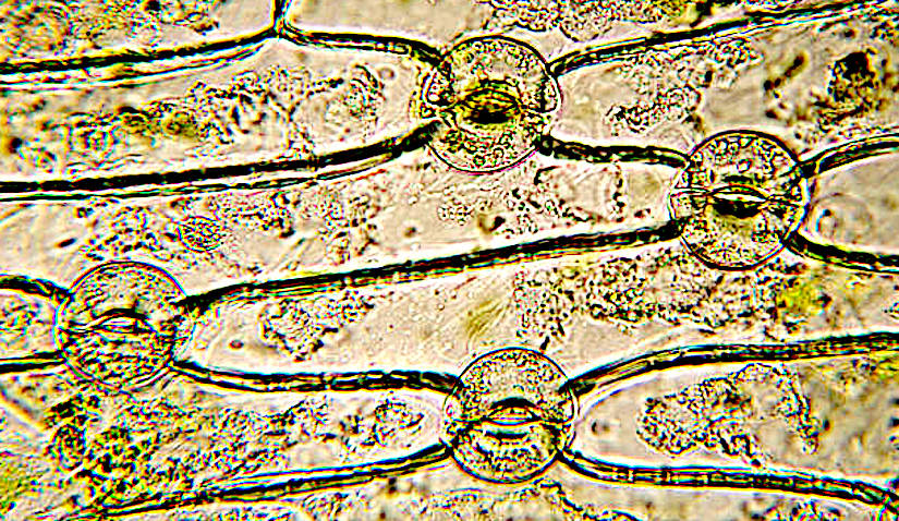Stock Photos of stomata